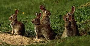 Mesa County rabbit tests positive for tularemia