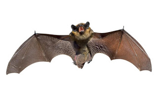 Rabies identified in Mesa County bat