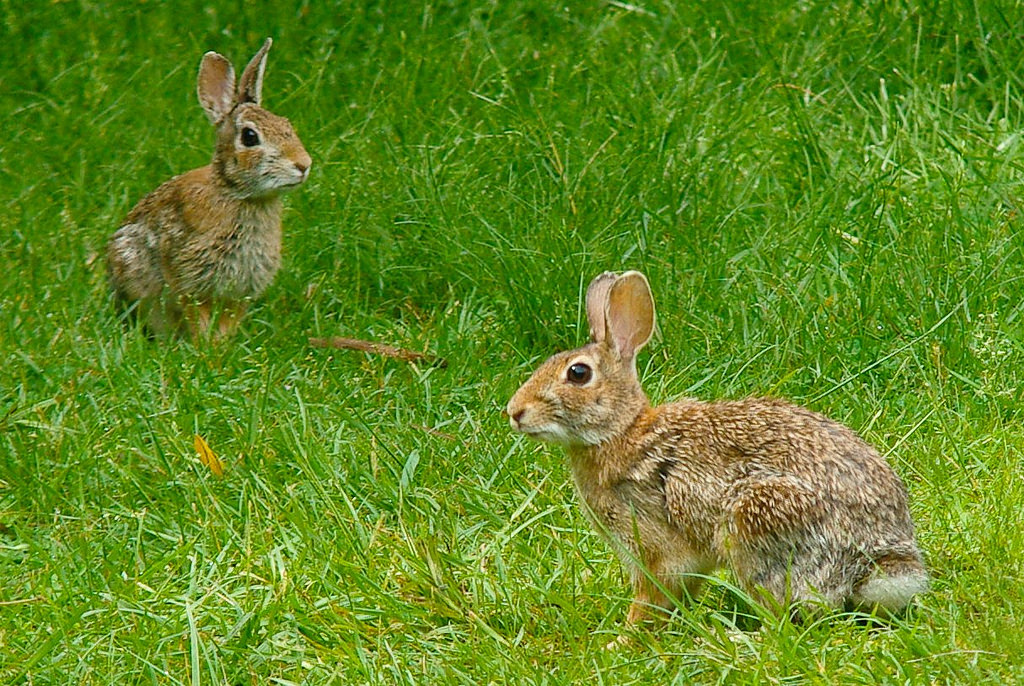 Couple helps identify rabbit fever in Whitewater
